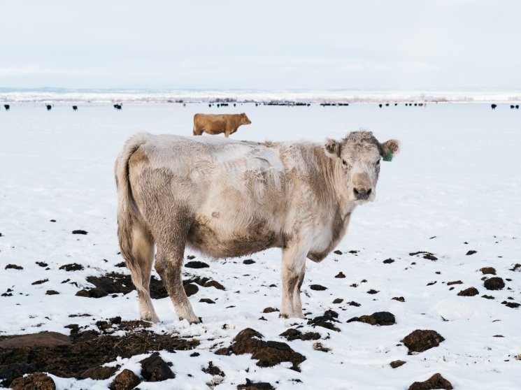 A cow stands along Greenhouse Lane, runs from Burns to the Malheur National Wildlife Refuge, on Jan. 16, 2016.