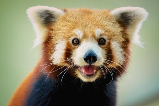 Happy red panda