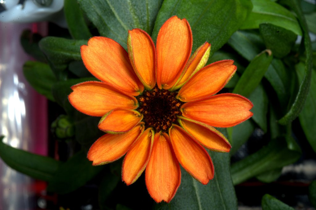 First ever flower grown in space makes its debut! #SpaceFlower #zinnia #YearInSpace  - via Twitter on Jan. 16, 2016