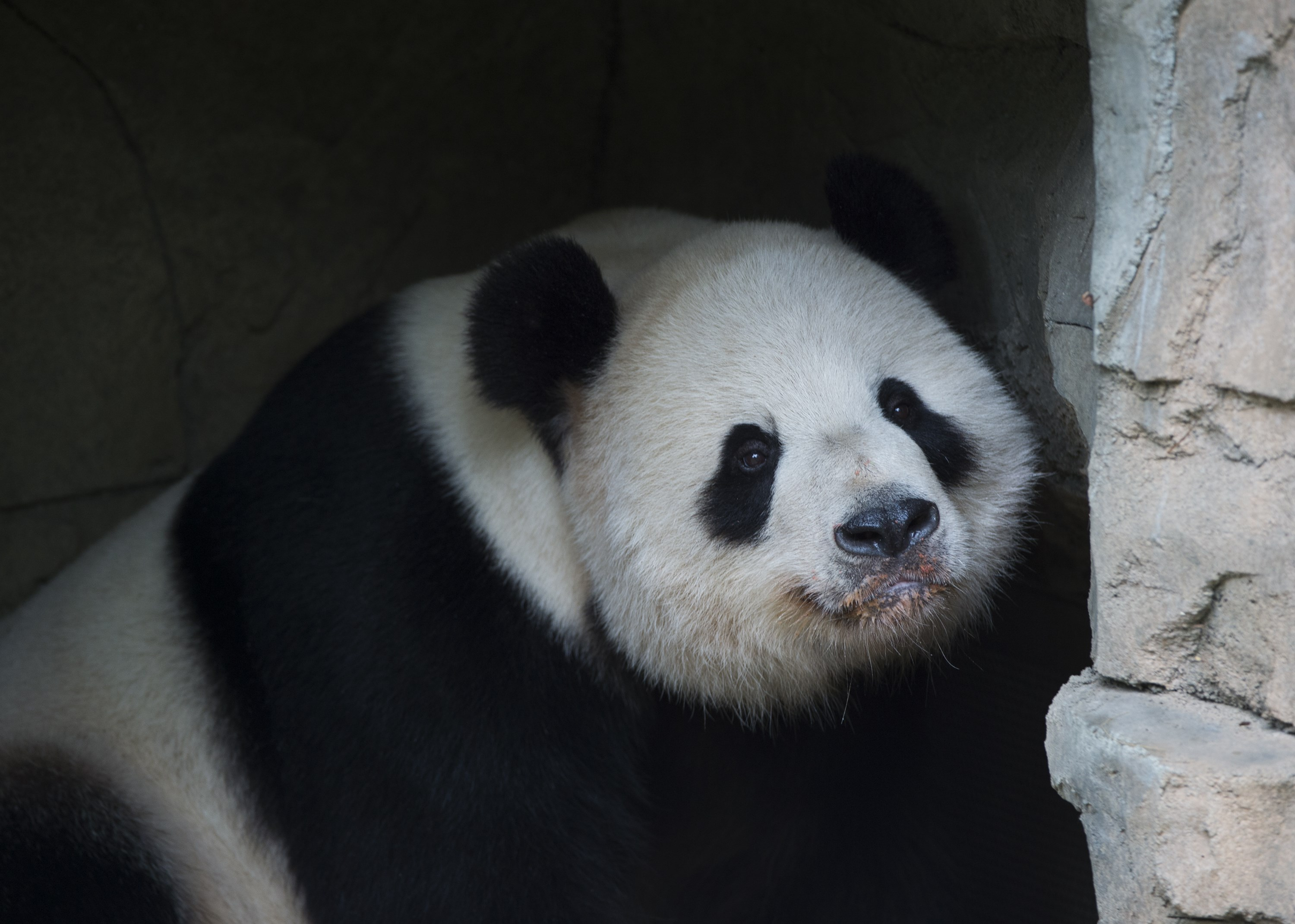 Giant Panda Tian Tian rests at the Smithsonian National Zoo on Sept. 25, 2015 in Washington, DC.