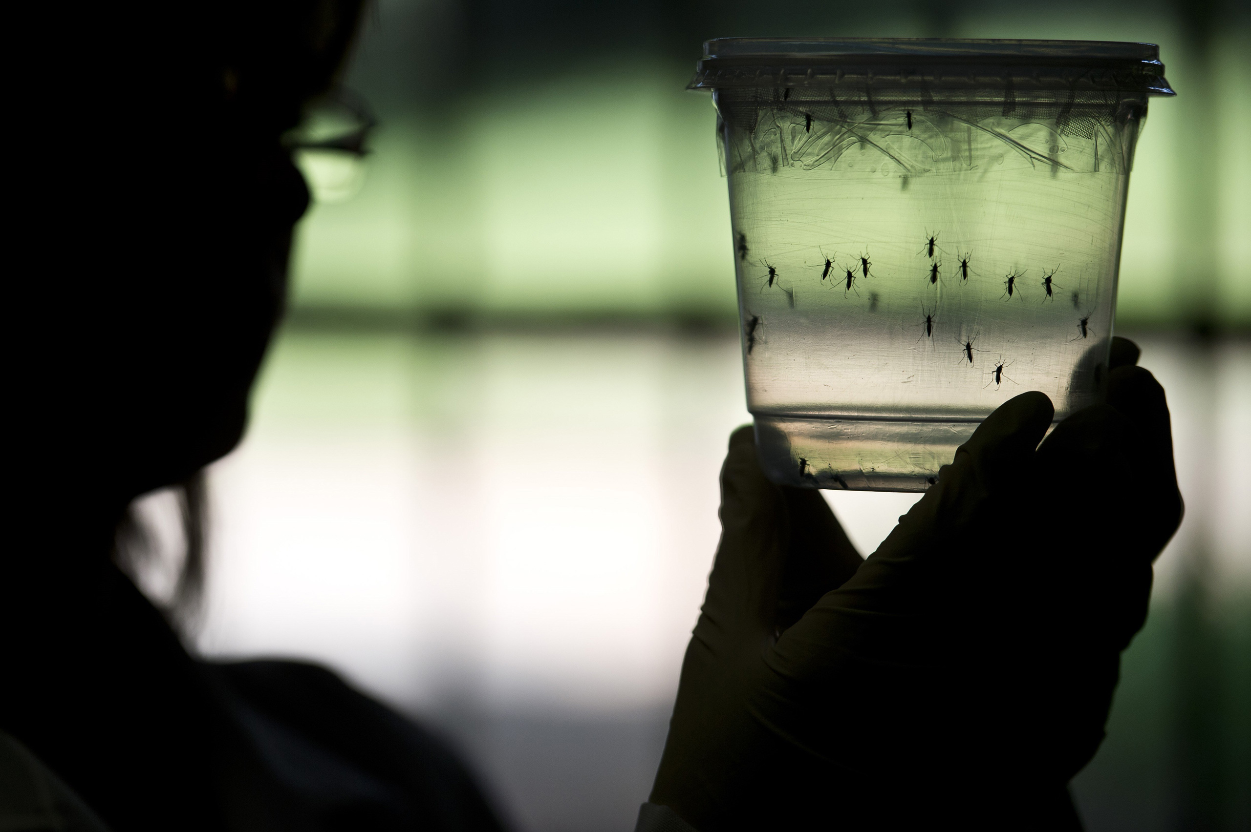 A researcher looks at Aedes aegypti mosquitoes, capable of spreading the Zika virus, at a lab in the Institute of Biomedical Sciences of the University of Sao Paulo, Brazil, on Jan. 8, 2016.