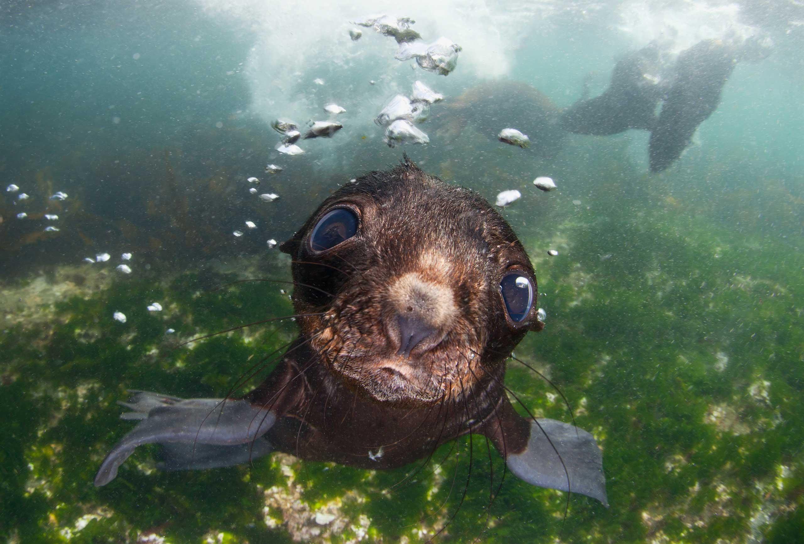 Baby fur seal in the Commander Islands, Bering Sea.