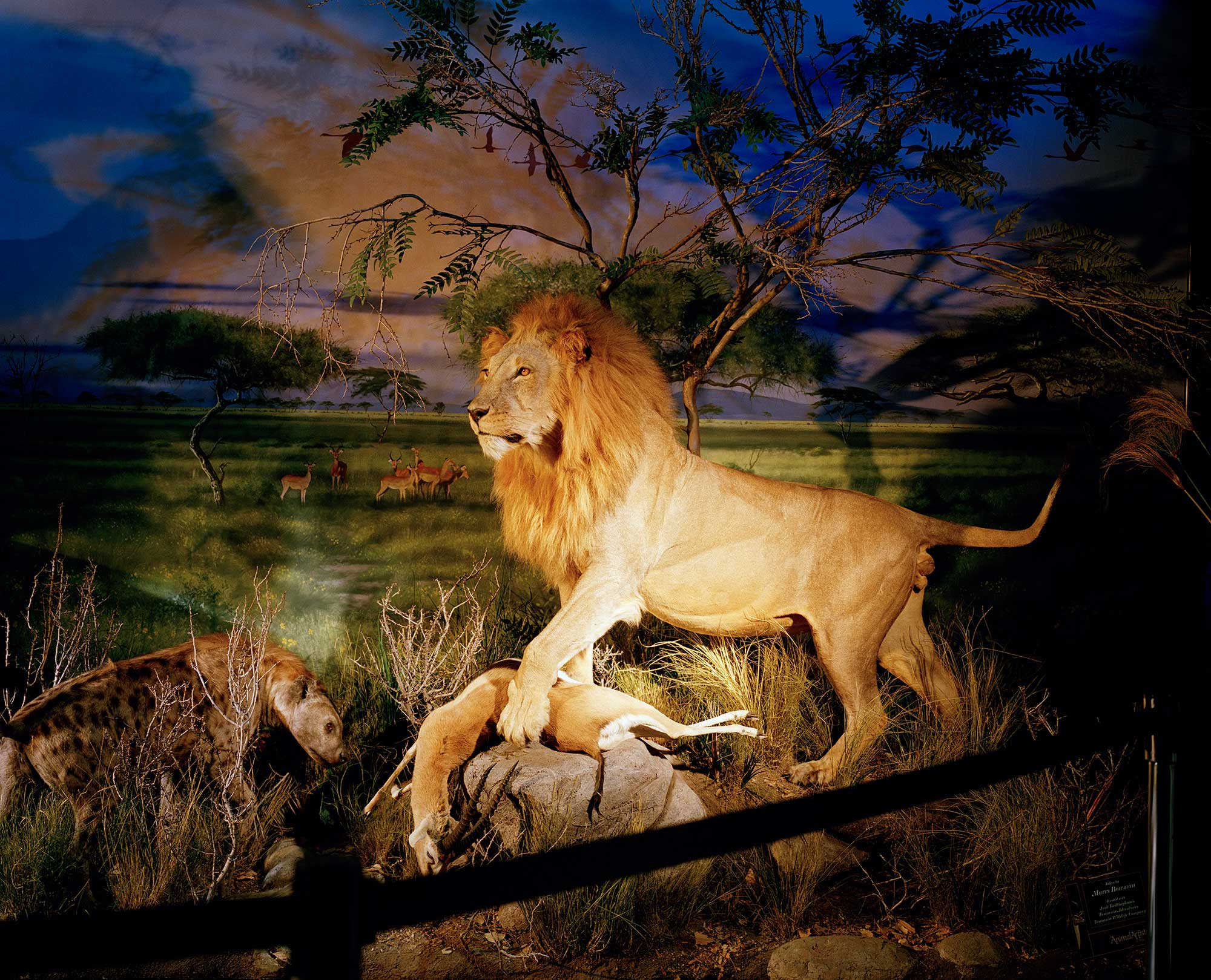 There are now more captive Lions in South Africa than wild ones; approximately 8,000 compared to 2,000 living in the wild.