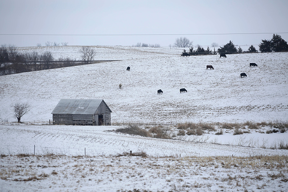 Cattle stands along a snow covered hillside on January 22, 2016 in Creston, Iowa. Presidential candidates seeking the nomination for the Republican and Democratic Party will campaign across the state of Iowa ahead of the Iowa Caucus taking place February 1. Joshua Lott—Getty Images