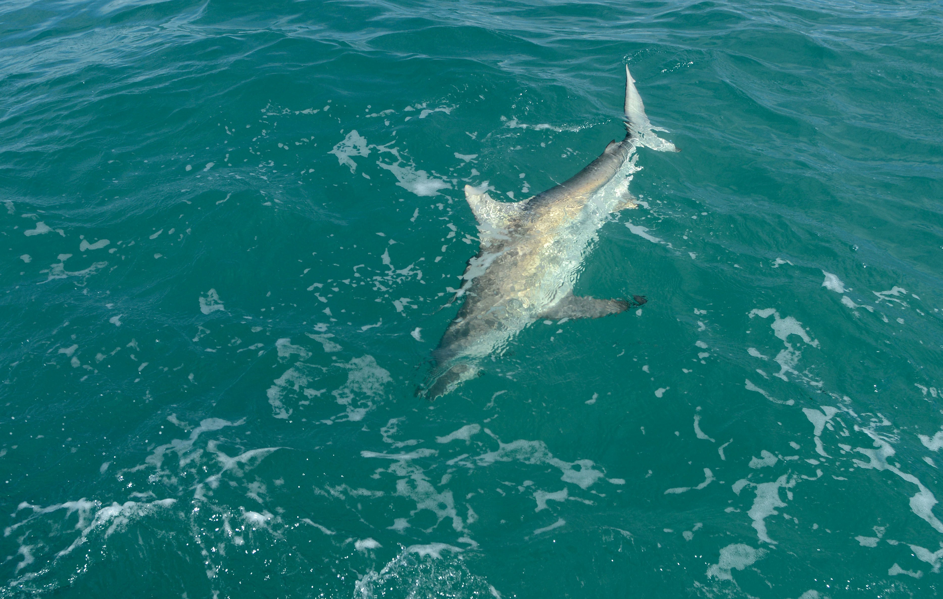 A blacktip shark hooked by Florida Atlantic University associate professor Stephen Kajiura and his team of students swims toward the boat off John D. MacArthur Beach State Park, March 3, 2015. According to Prof. Kajiura, around 10,000 blacktip sharks are swimming along the coast of Palm Beach, Florida.