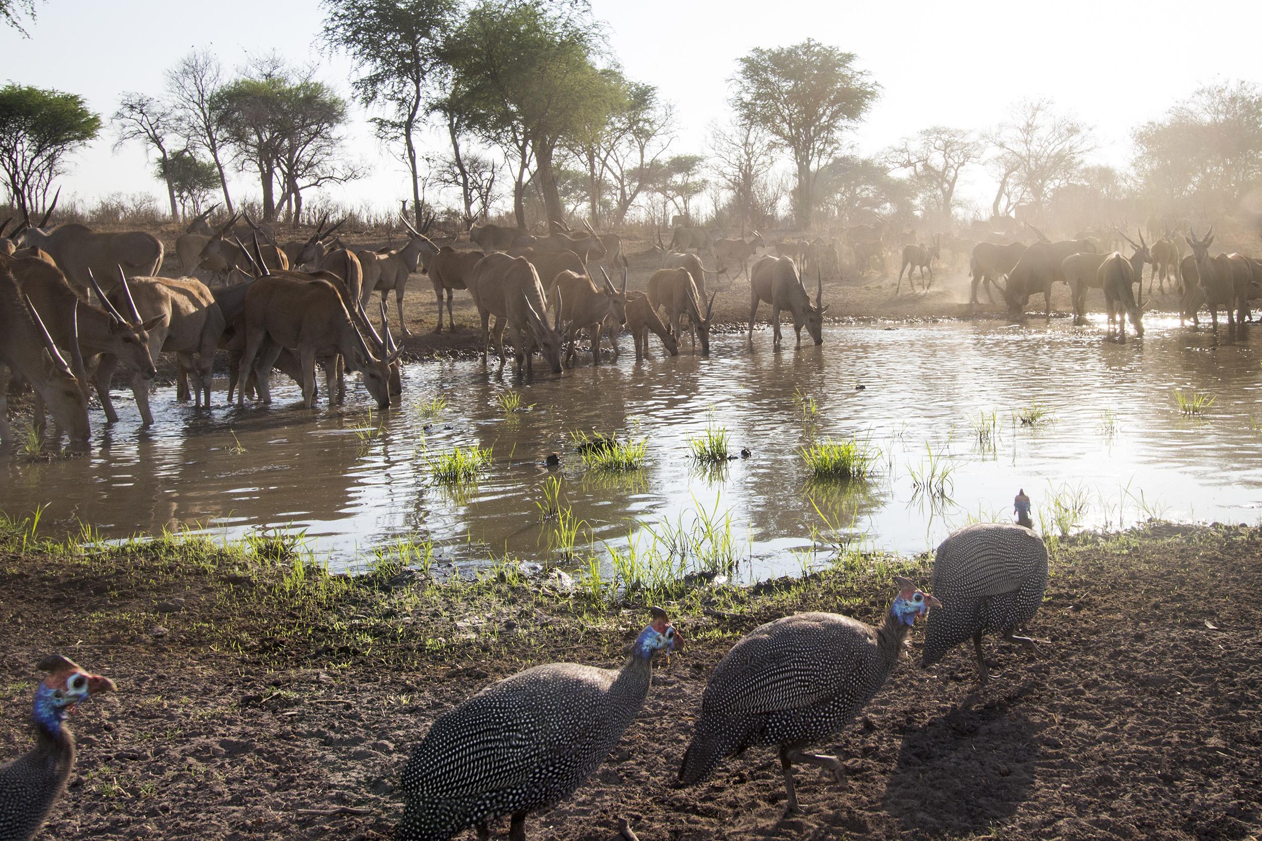 A camera trap image of eland and guinea fowls using Camtraptions PIR motion sensor.