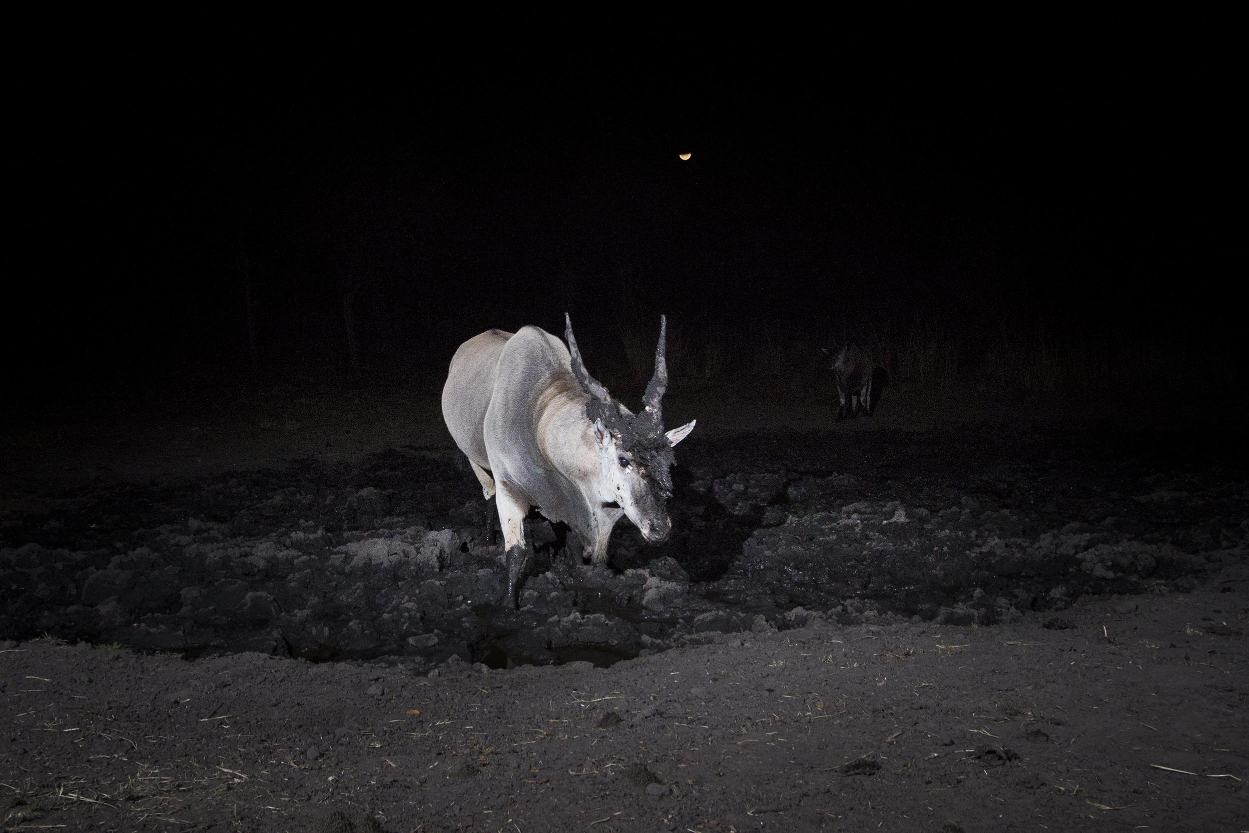 A camera trap image of an eland using Camtraptions PIR motion sensor.