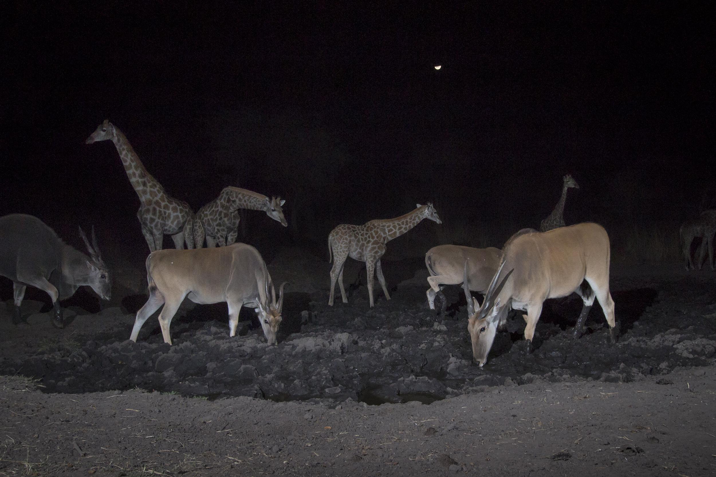 A camera trap image of elands and giraffes using Camtraptions PIR motion sensor.