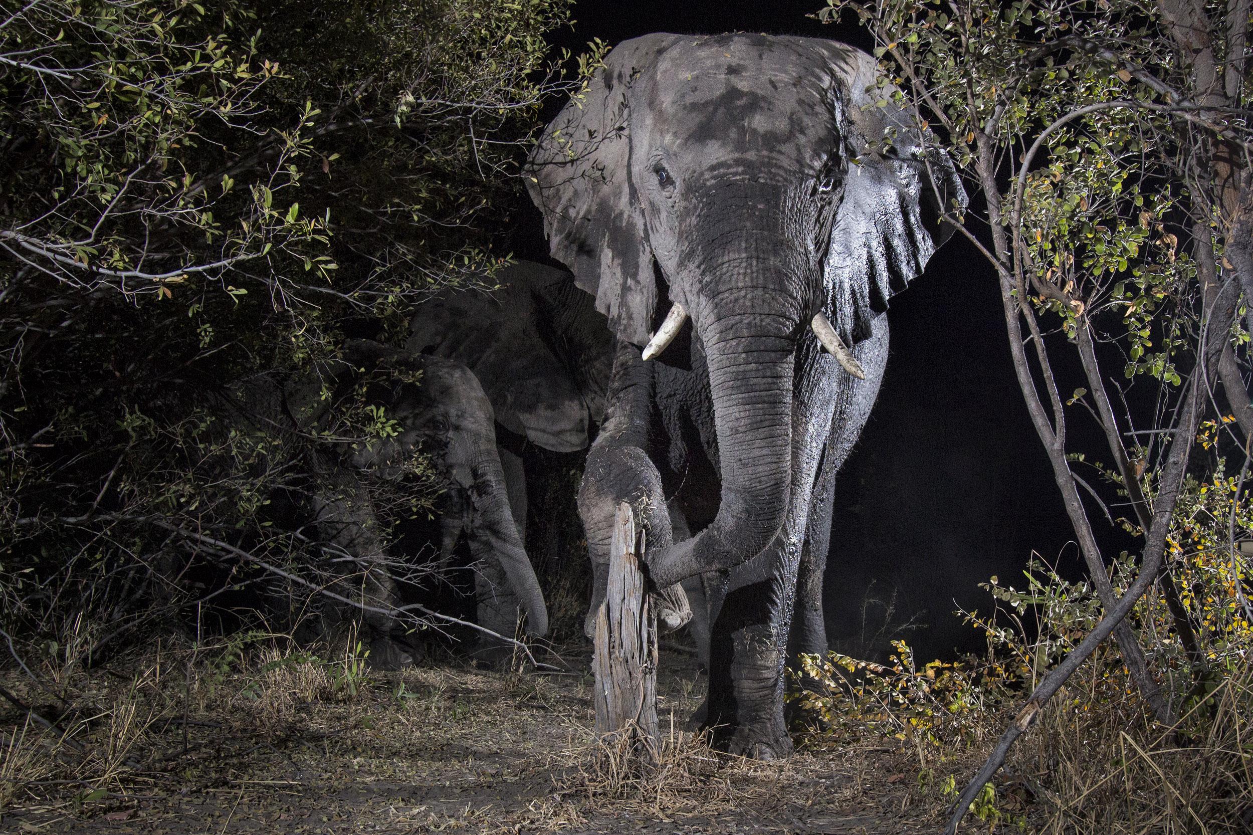 A camera trap image of an elephant using Camtraptions PIR motion sensor.