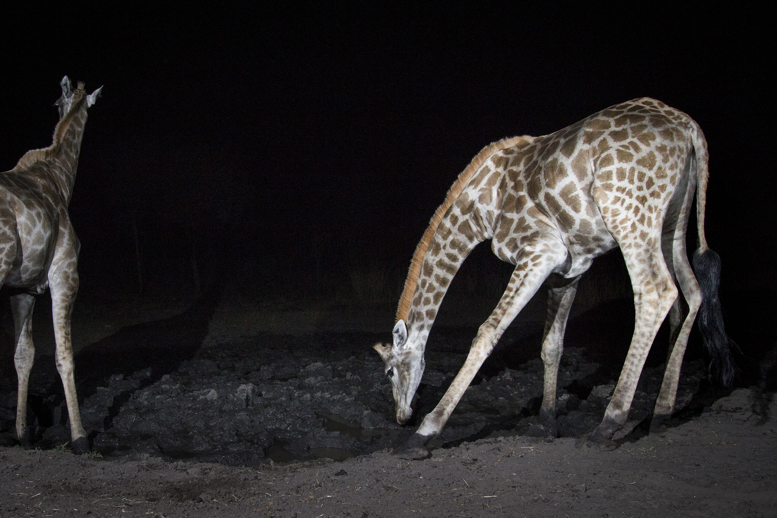A camera trap image of a giraffe using Camtraptions PIR motion sensor.