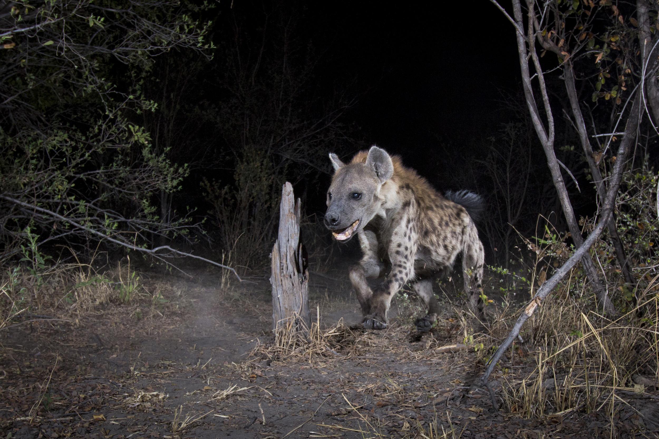 A camera trap image of a hyena using Camtraptions PIR motion sensor.