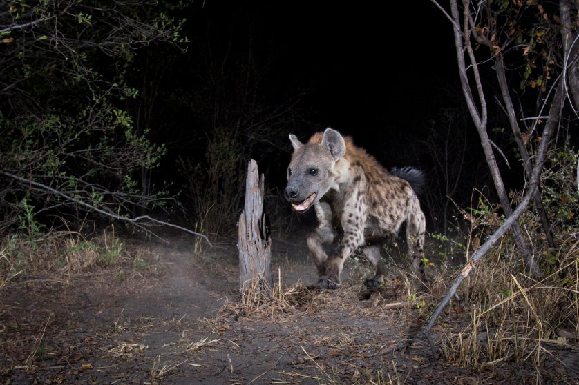 A camera trap image of a hyena fowl using Camtraptions PIR motion sensor.