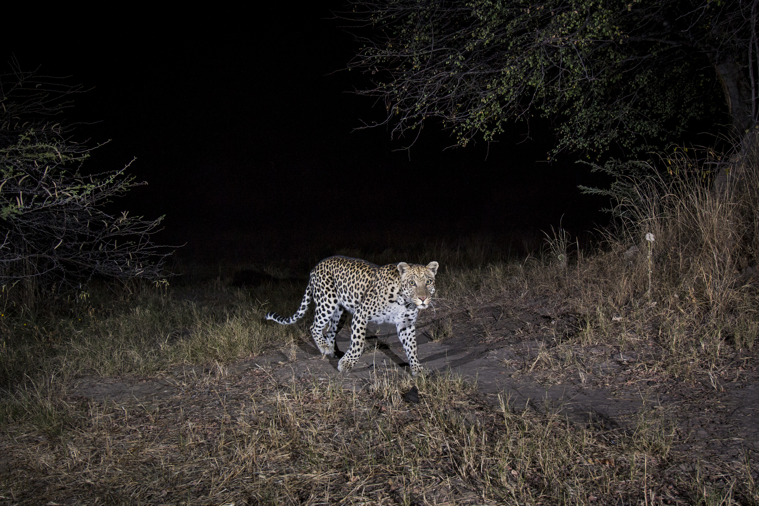A camera trap image of a leopard using Camtraptions PIR motion sensor.