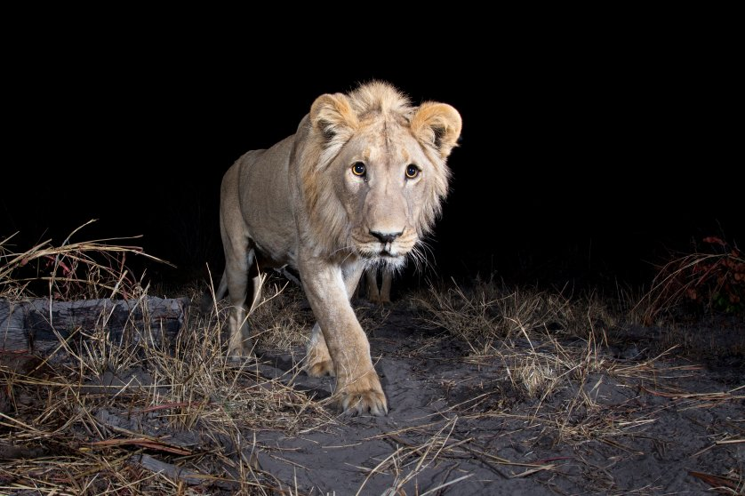 A camera trap image of a lion using Camtraptions PIR motion sensor.