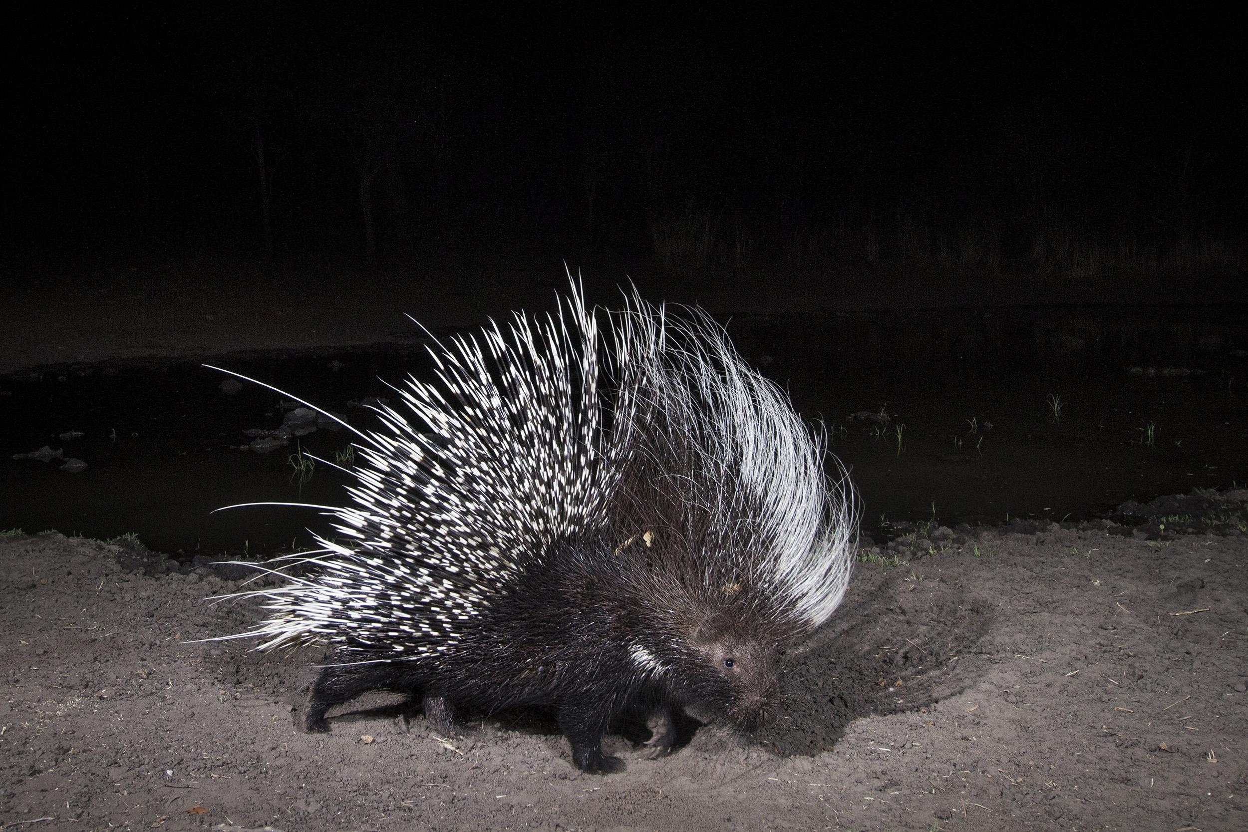 A camera trap image of a porcupine using Camtraptions PIR motion sensor.