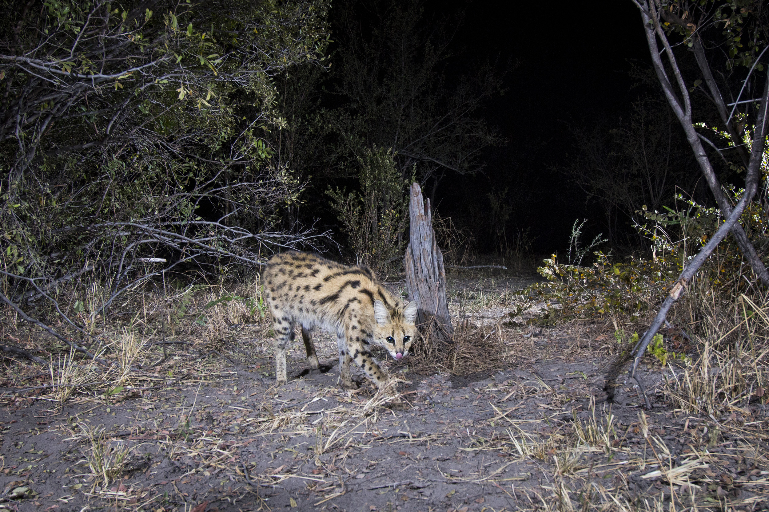 A camera trap image of a serval using Camtraptions PIR motion sensor.