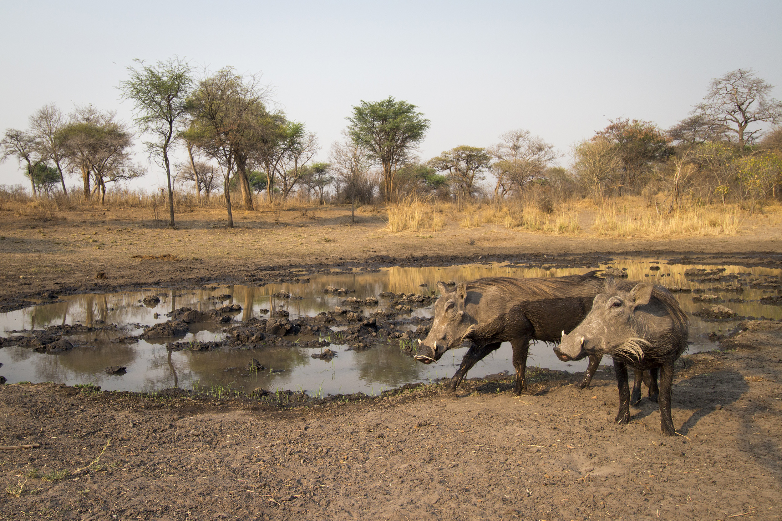 A camera trap image of warthogs using Camtraptions PIR motion sensor.