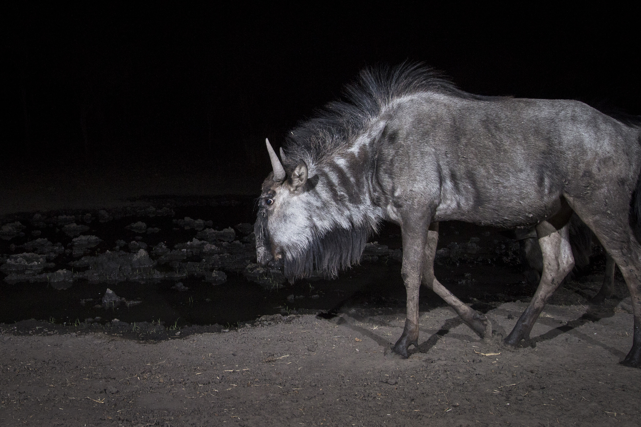 A camera trap image of a wildebeest using Camtraptions PIR motion sensor.