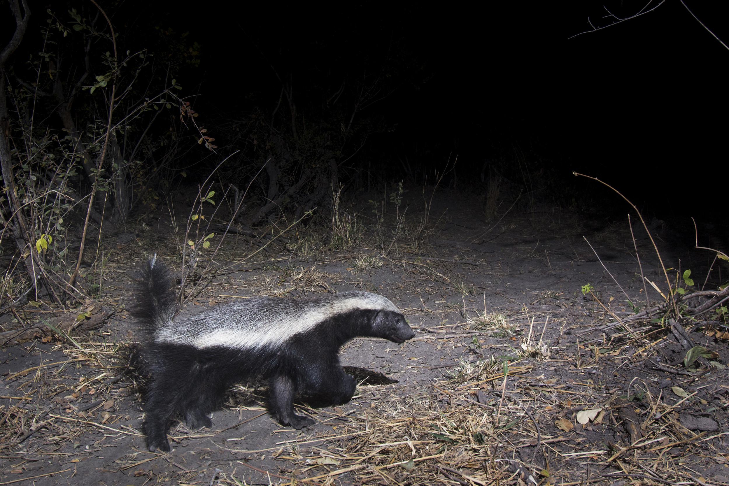 A camera trap image of a honey badger using Camtraptions PIR motion sensor.