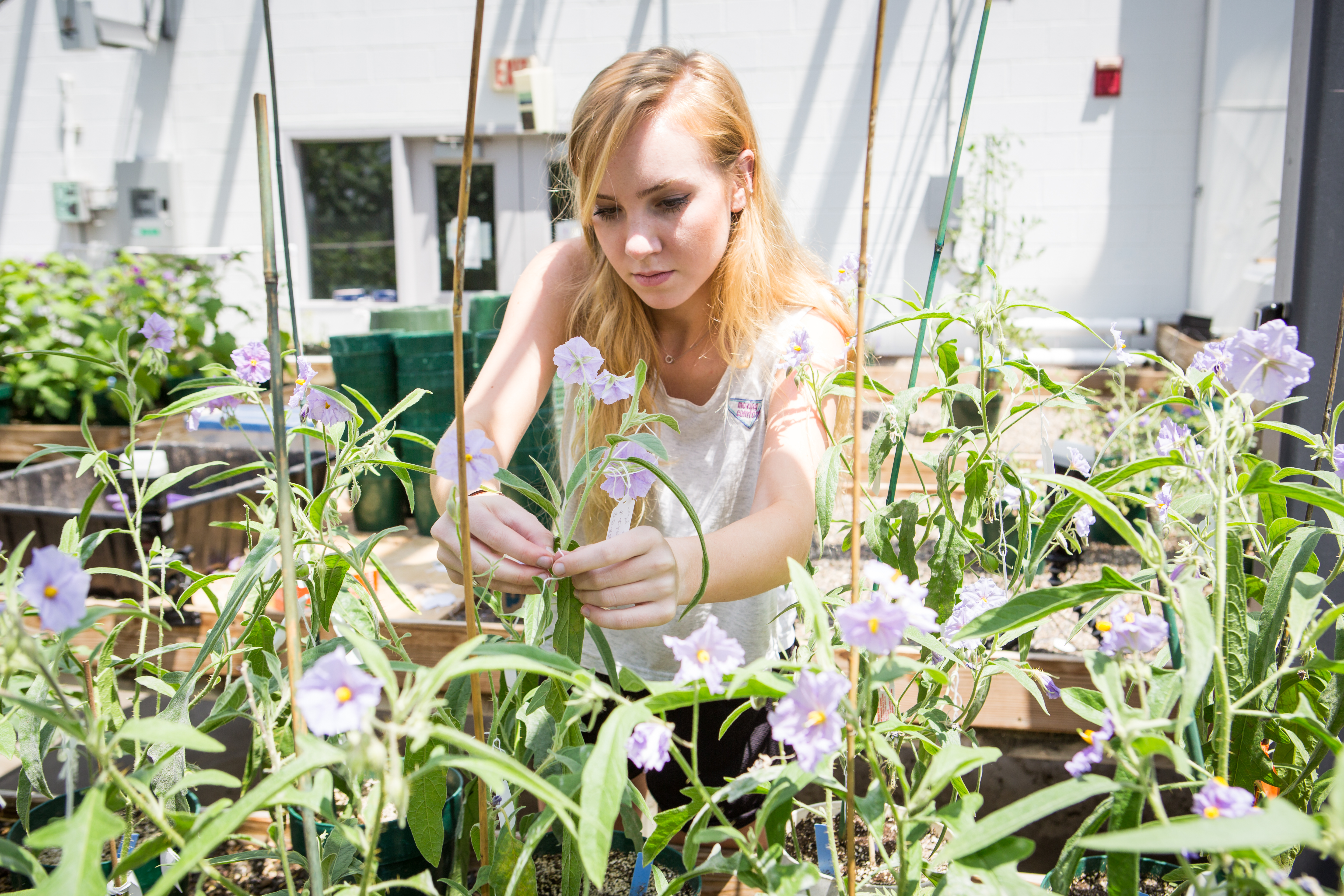 Emma Frawley, coauthor of the research paper in PhytoKeys, works on the new species of plants in a greenhouse.