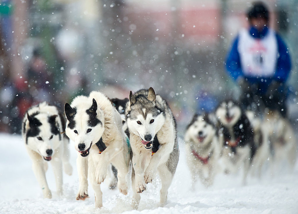 John Norris drives a team of Siberian huskies down Fourth Avenue in Anchorage, Alaska, at the start of the Fur Rendezvous Open World Championship Sled Dog Race, on Feb. 22, 2013.