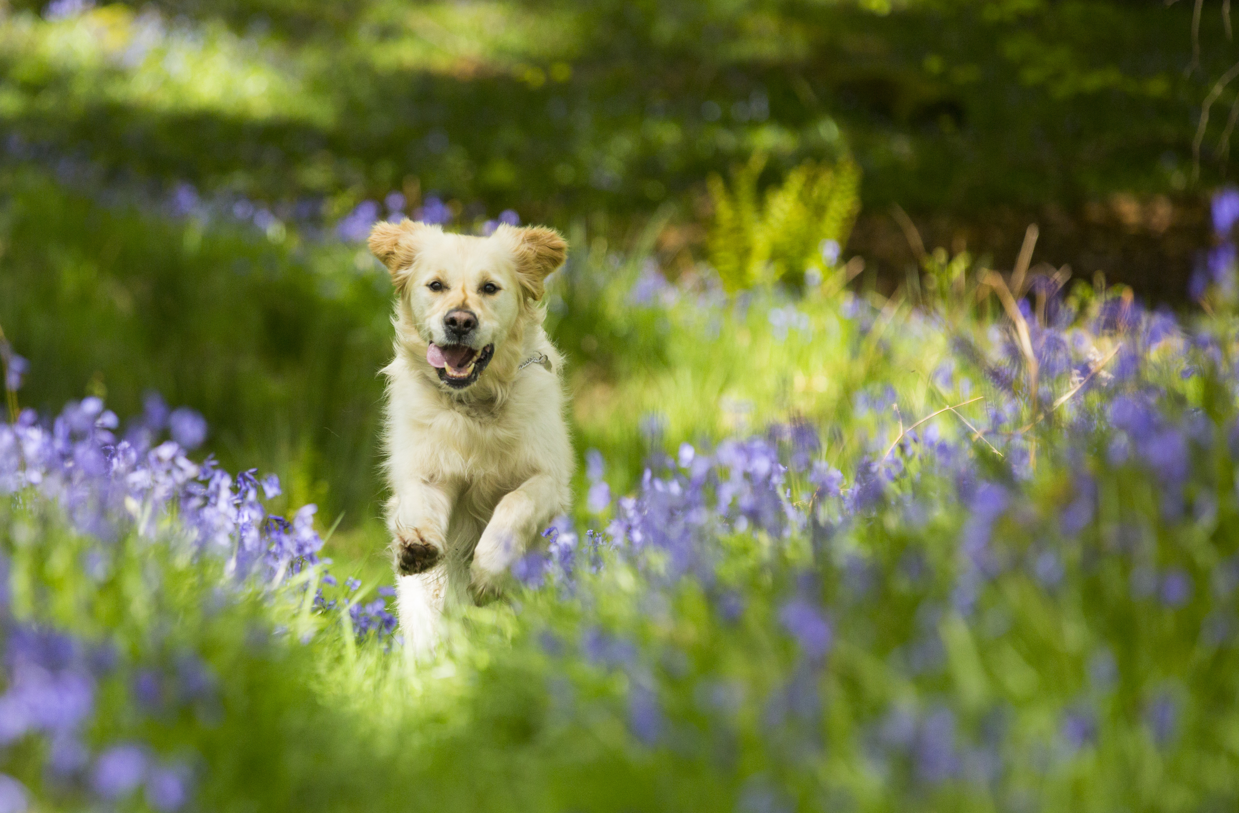 A Golden Retriever dog running through Bluebells in Jiffy Knotts wood in Lake District on May 20, 2015 in Ambleside, England.                                           The native British Bluebell is threatened by the highly invasive Spanish Bluebell.                                          PHOTOGRAPH BY Ashley Cooper / Barcroft Media (Photo credit should read Ashley Cooper / Barcroft Media via Getty Images)