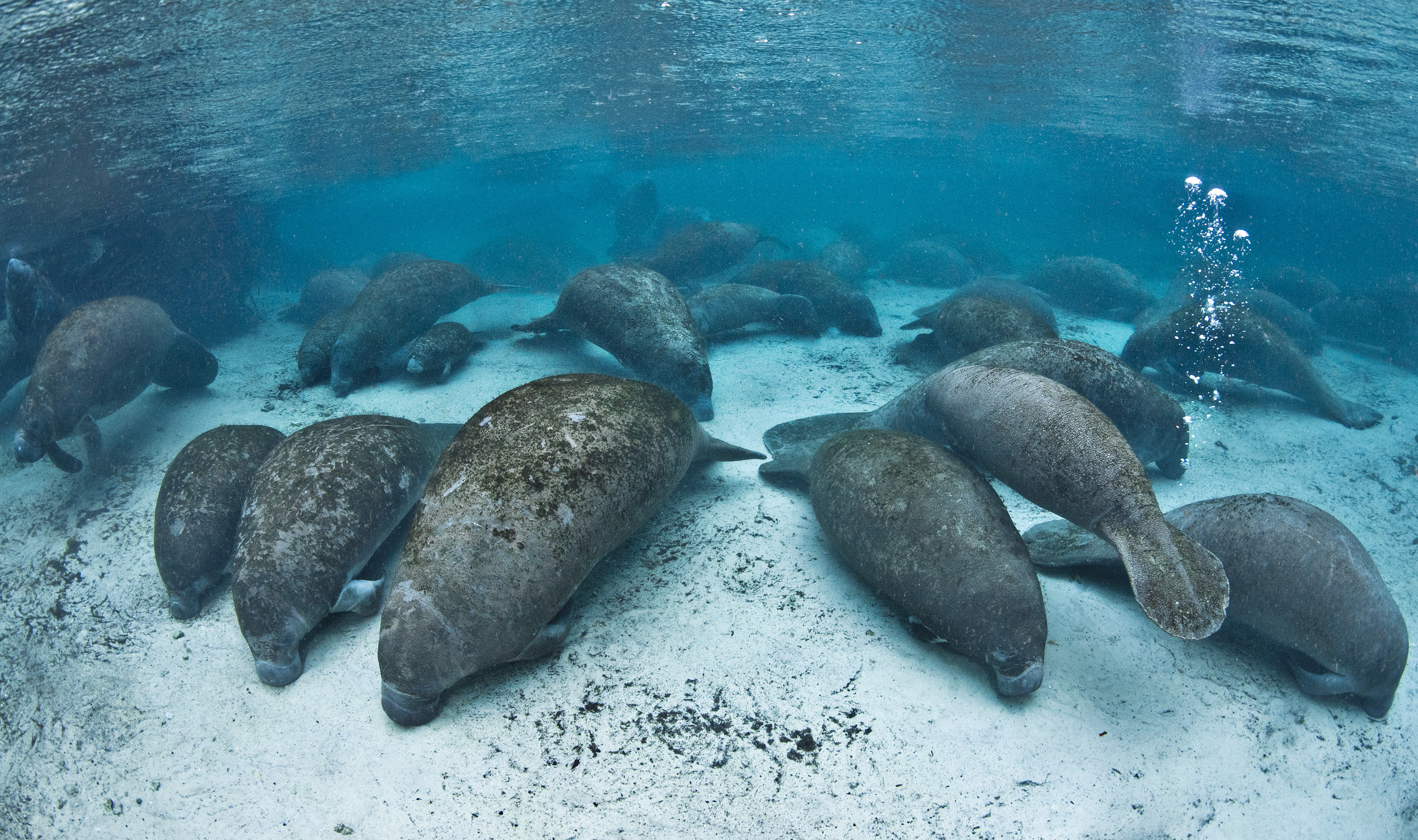On a cold evening, large numbers of manatees (Trichechus manatus latirostrus) gather in Three Sisters Spring for the night in this picture dated August 12, 2011.