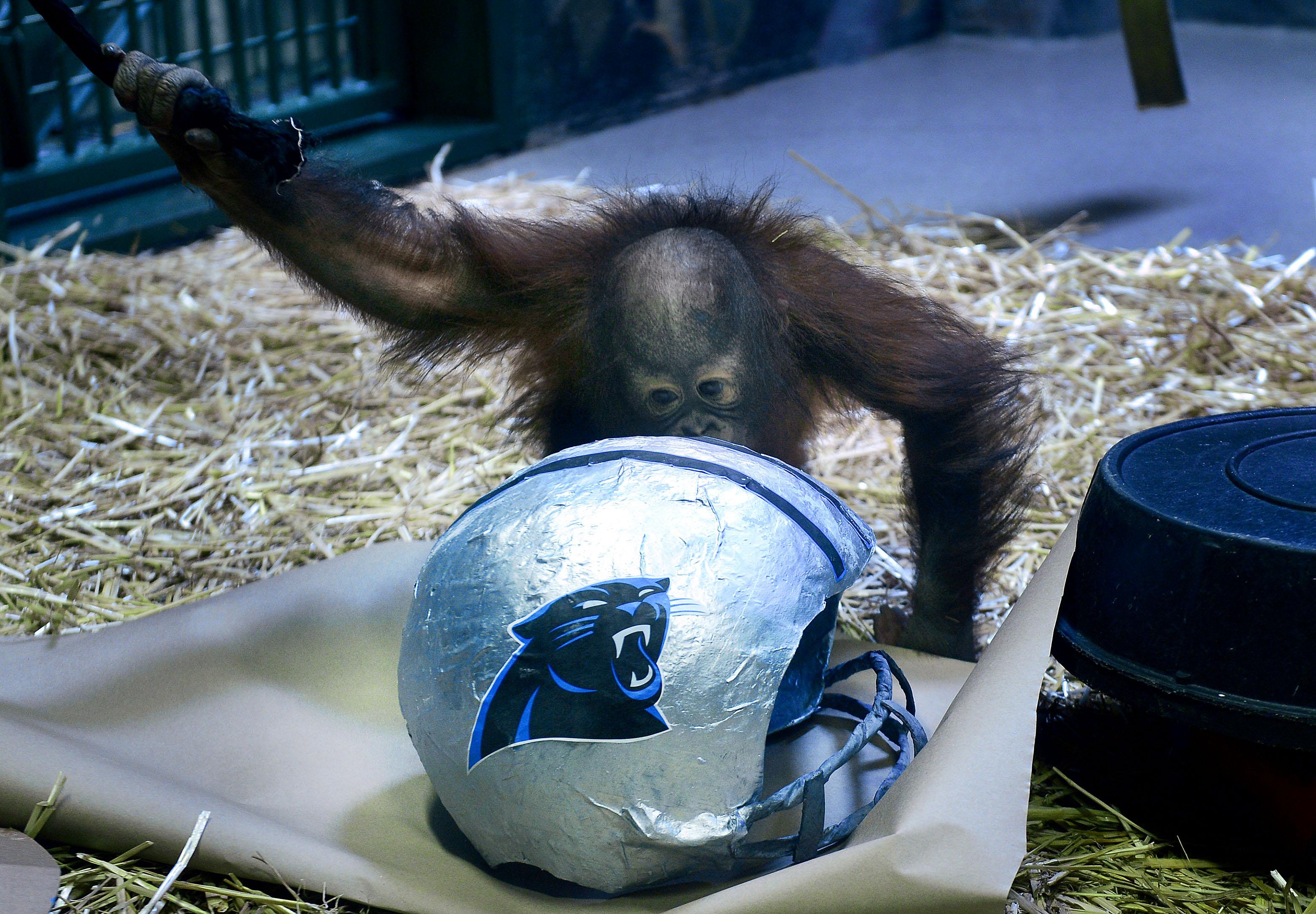 Tuah, an Orangutan at Utah's Hogle Zoo, picks the Carolina Panthers over the Denver Broncos as winners of Sunday's Super Bowl, Thursday, Feb. 4, 2016, in Salt Lake City.