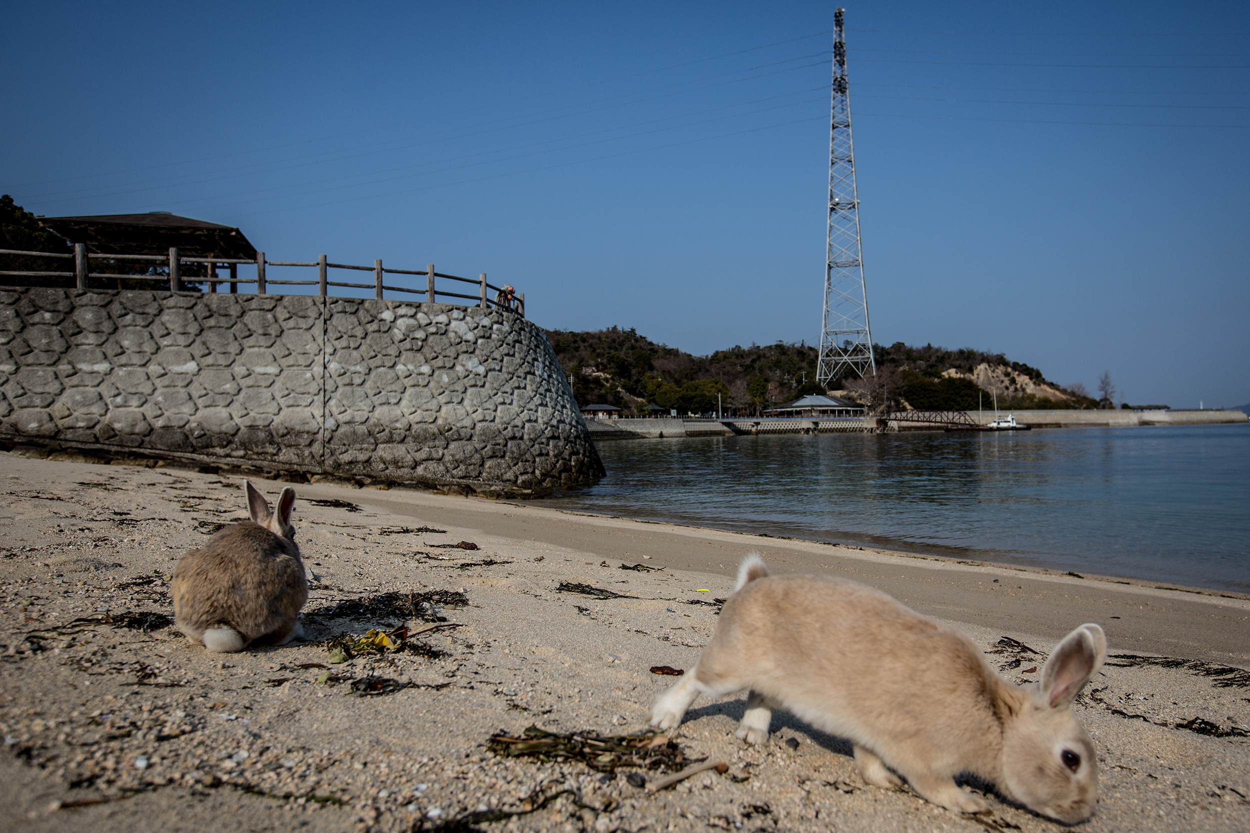Rabbits forage for food on the beach at  Okunoshima Island on Feb. 24, 2014 in Takehara, Japan.