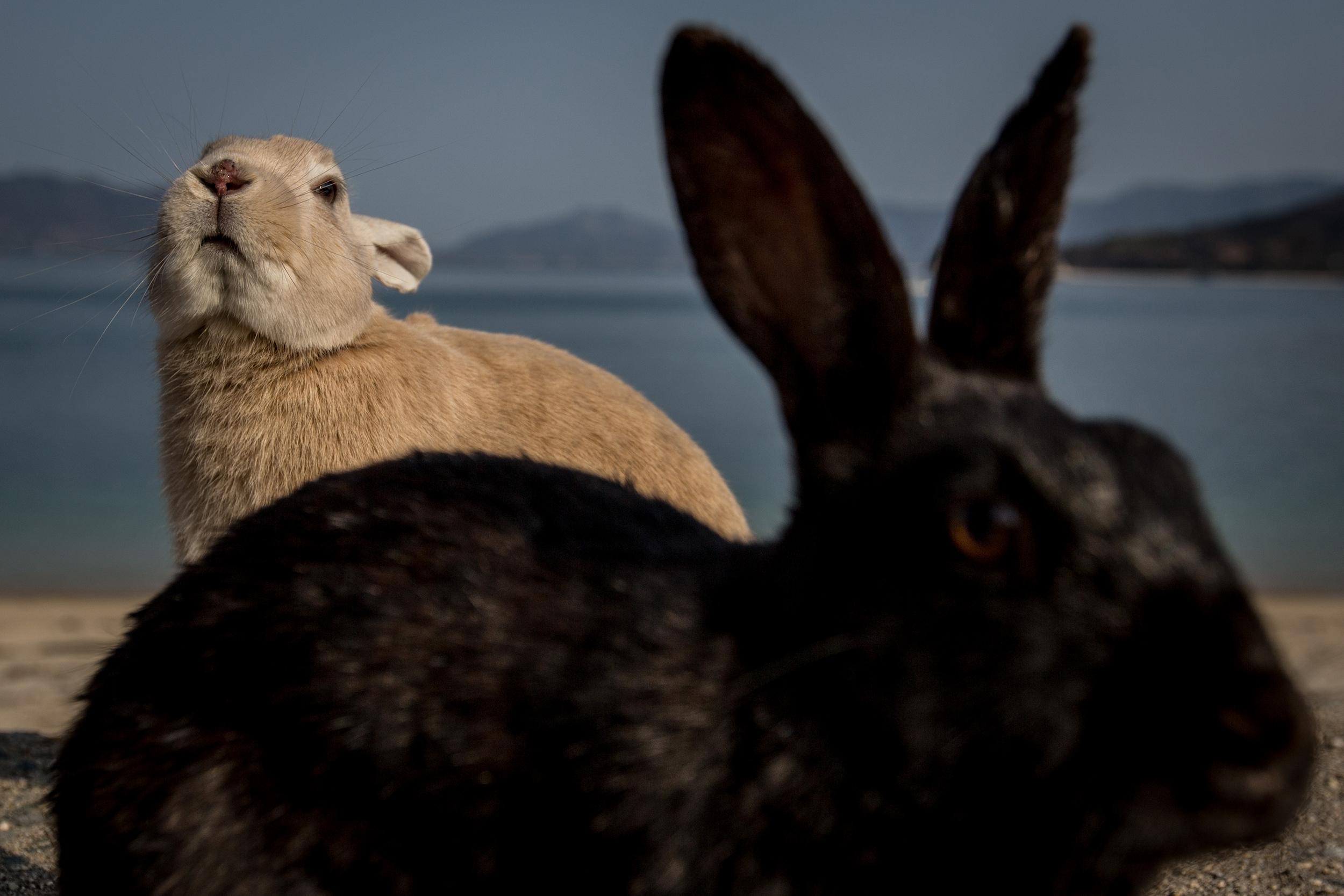 Rabbits look for food at the beach on Okunoshima Island on Feb. 24, 2014 in Takehara, Japan.