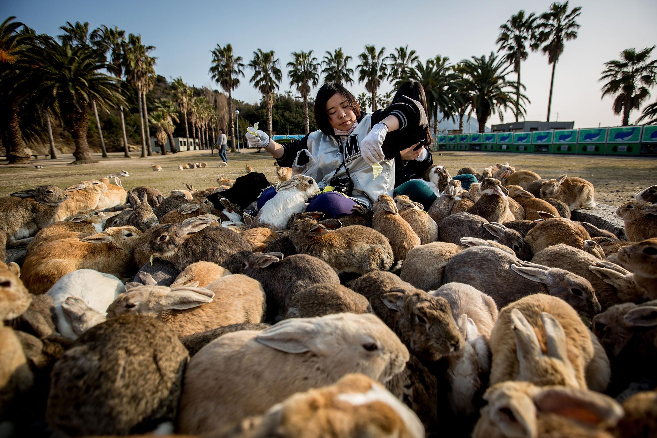 Two tourists sit and feed hundreds of rabbits  at Okunoshima Island on Feb. 24, 2014 in Takehara, Japan.