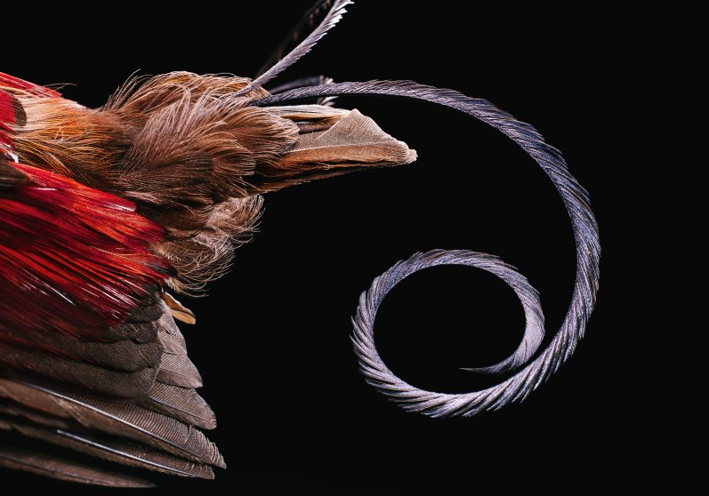 Wilson's Bird-of-Paradise, also known as Cicinnurus respublica from western Papua New Guinea. This image shows it's single tightly folded tail feather. The most curious feature of this species is the elaborate display the male birds employ to attract a mate. During mating season, the male birds first make a clearing on the forest floor, removing all twigs and detritus. Once a female suitor arrives, the male performs a dazzling dance.