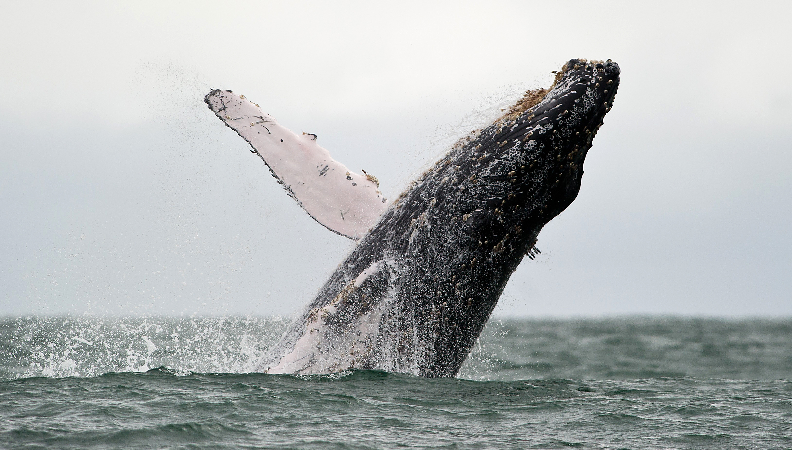 A Humpback whale jumps in the surface of the Pacific Ocean at the Uramba Bahia Malaga natural park in Colombia, on July 16, 2013.