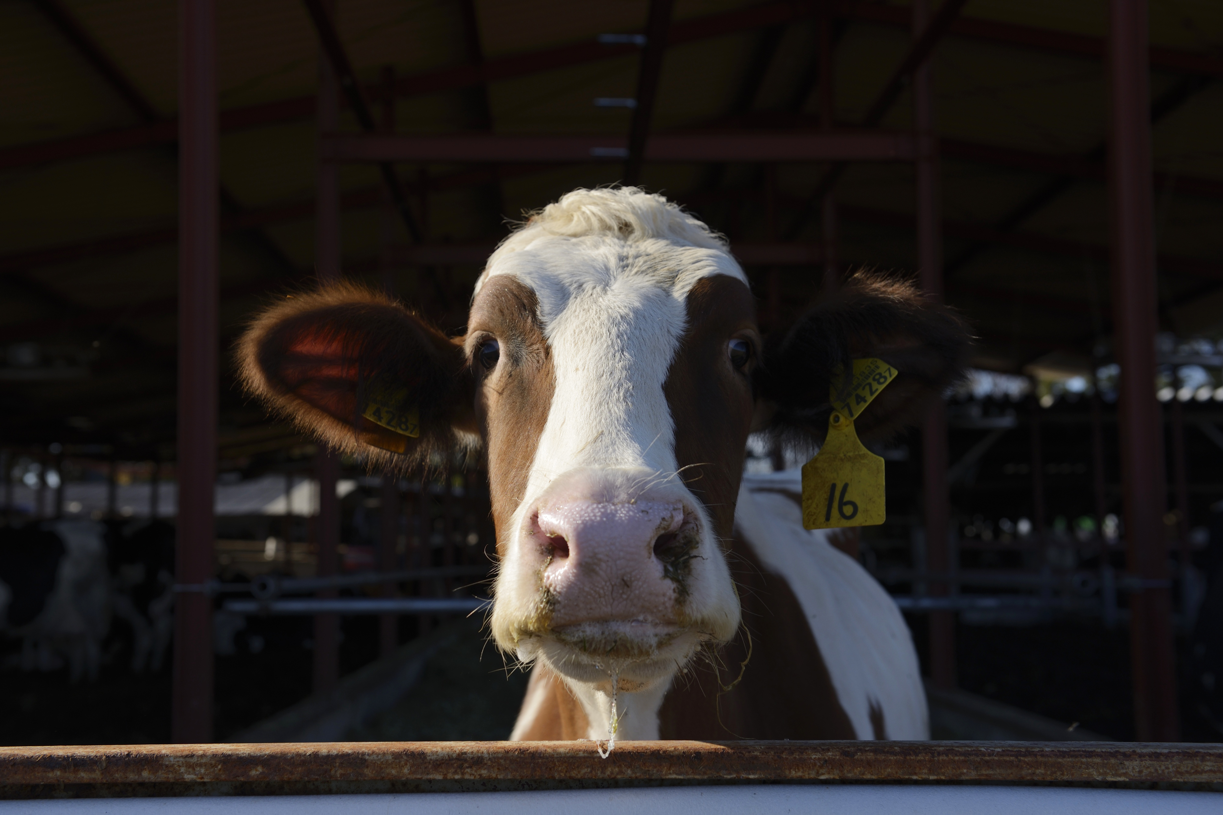 A cow stands in a yard at a Kawashima Dairy Farm in Chiyoda, Gunma Prefecture, Japan, on Wednesday, Dec. 3, 2014. Raw-milk production in the six months through Sept. 30 dropped 2.5 percent from a year earlier to 3.7 million metric tons, according to agriculture ministry.