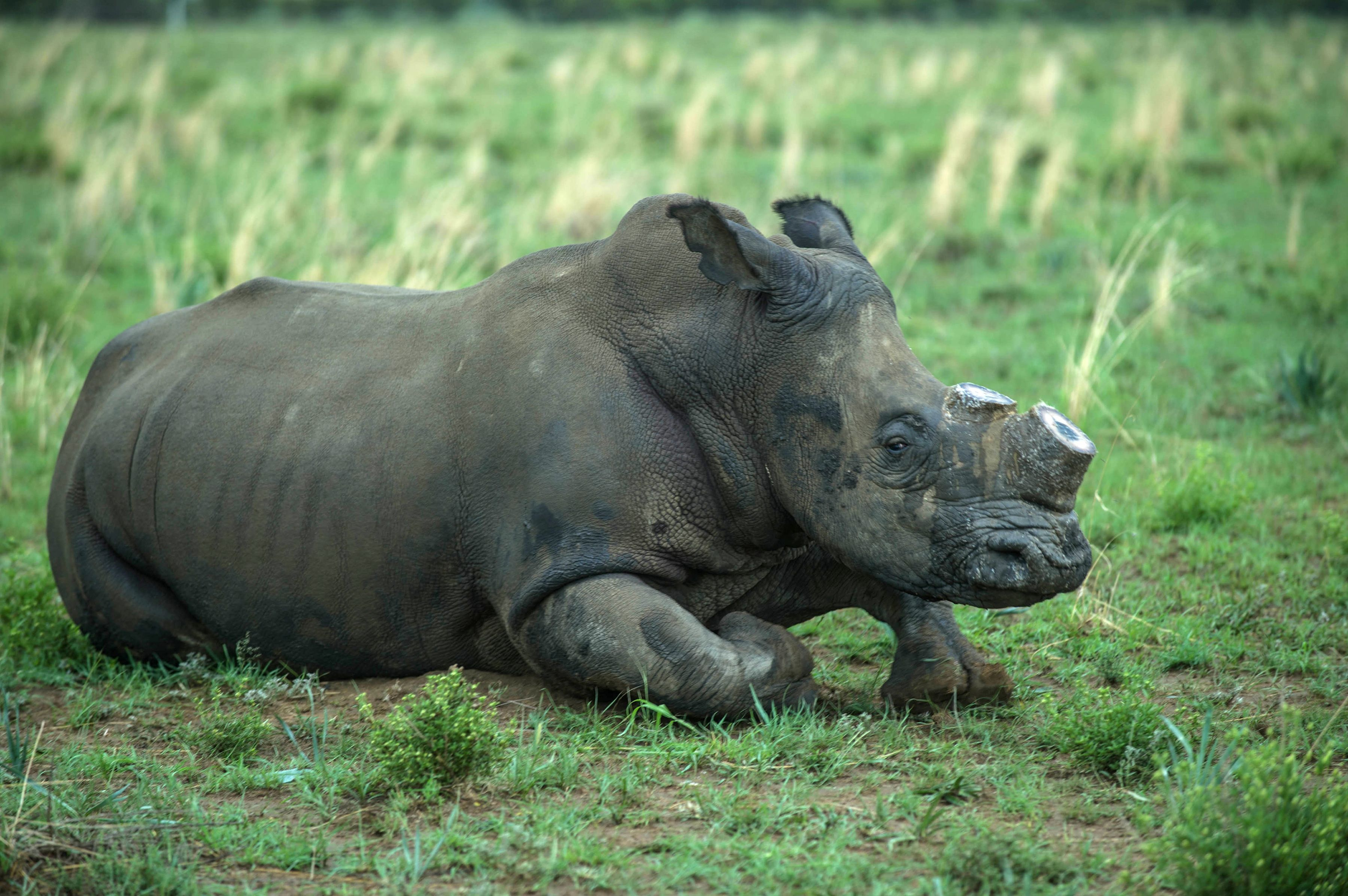 A de-horned rhino slowly wakes up after his horn was trimmed at John Hume's Rhino Ranch in Klerksdorp, in the North Western Province of South Africa, Feb. 3, 2016
