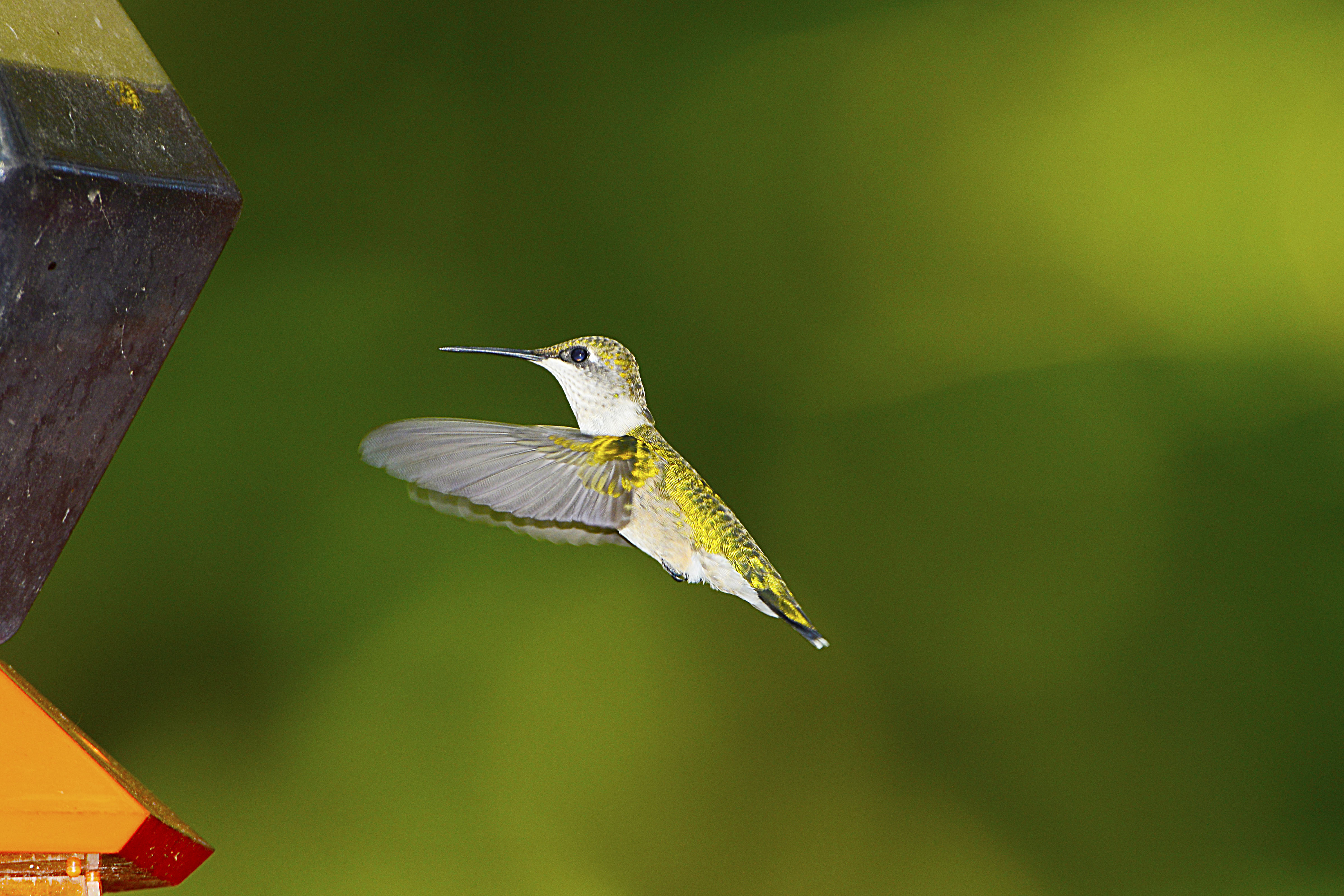 A Ruby-throated Hummingbird