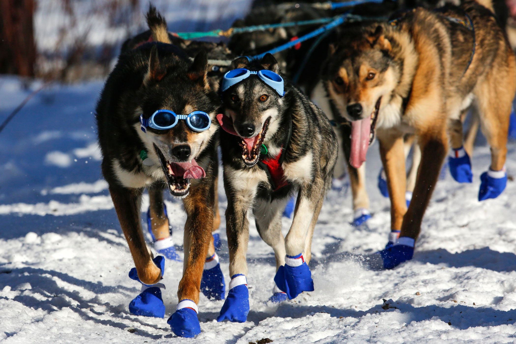 Cody Strathe's team leaves the restart of the Iditarod Trail Sled Dog Race in Willow, Alaska on March 6.