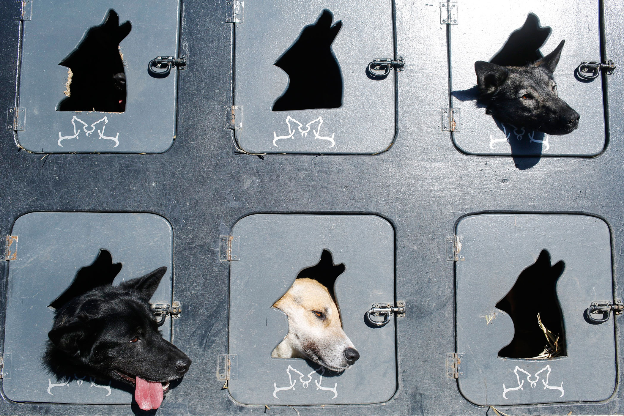Musher Justin Savidis' dogs wait in the truck before the restart of the Iditarod Trail Sled Dog Race in Willow, Alaska on March 6.