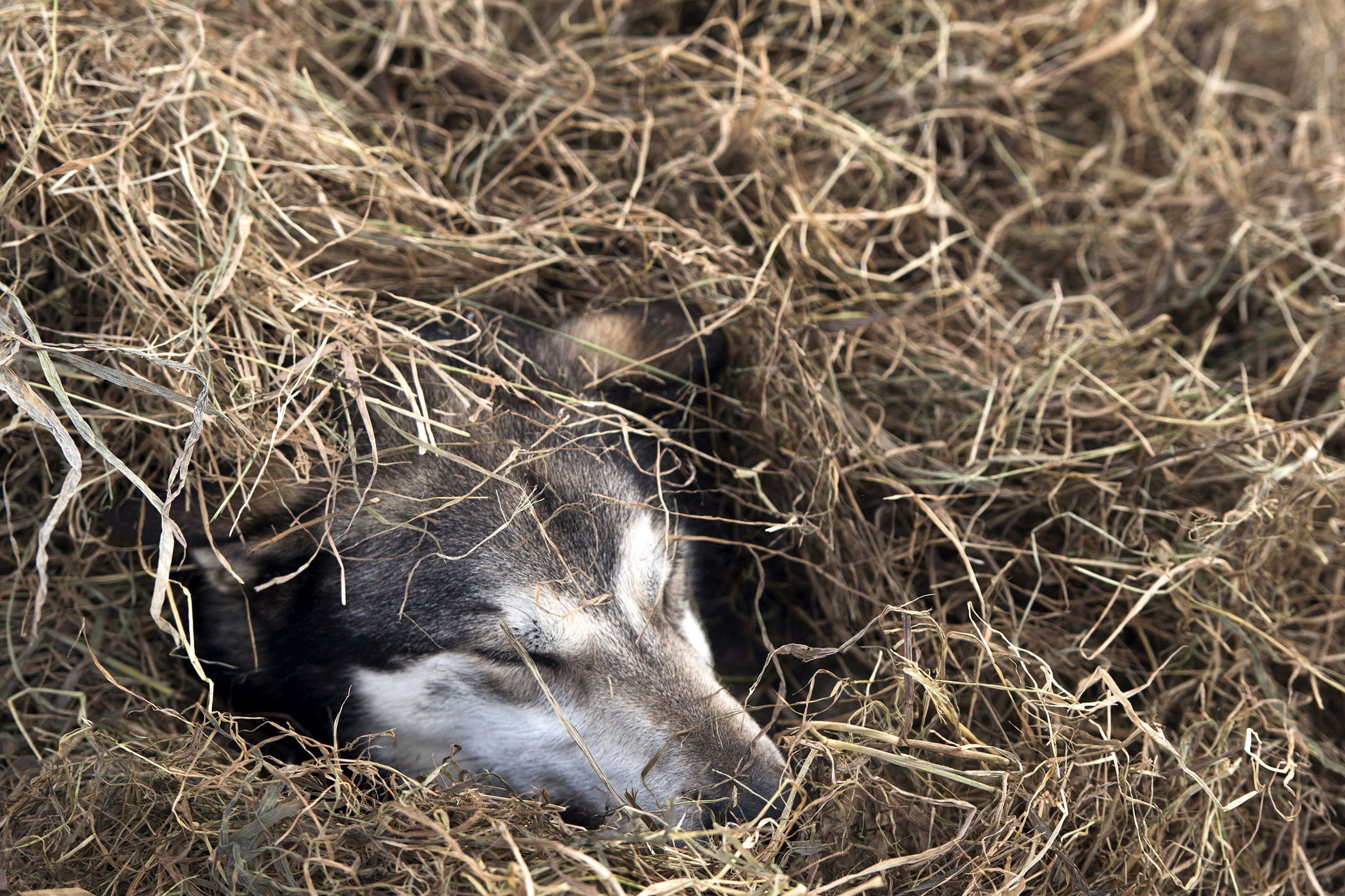 One of Nicolas Petit's dogs rests in straw on Puntilla Lake on March 7, in Rainy Pass, Alaska.