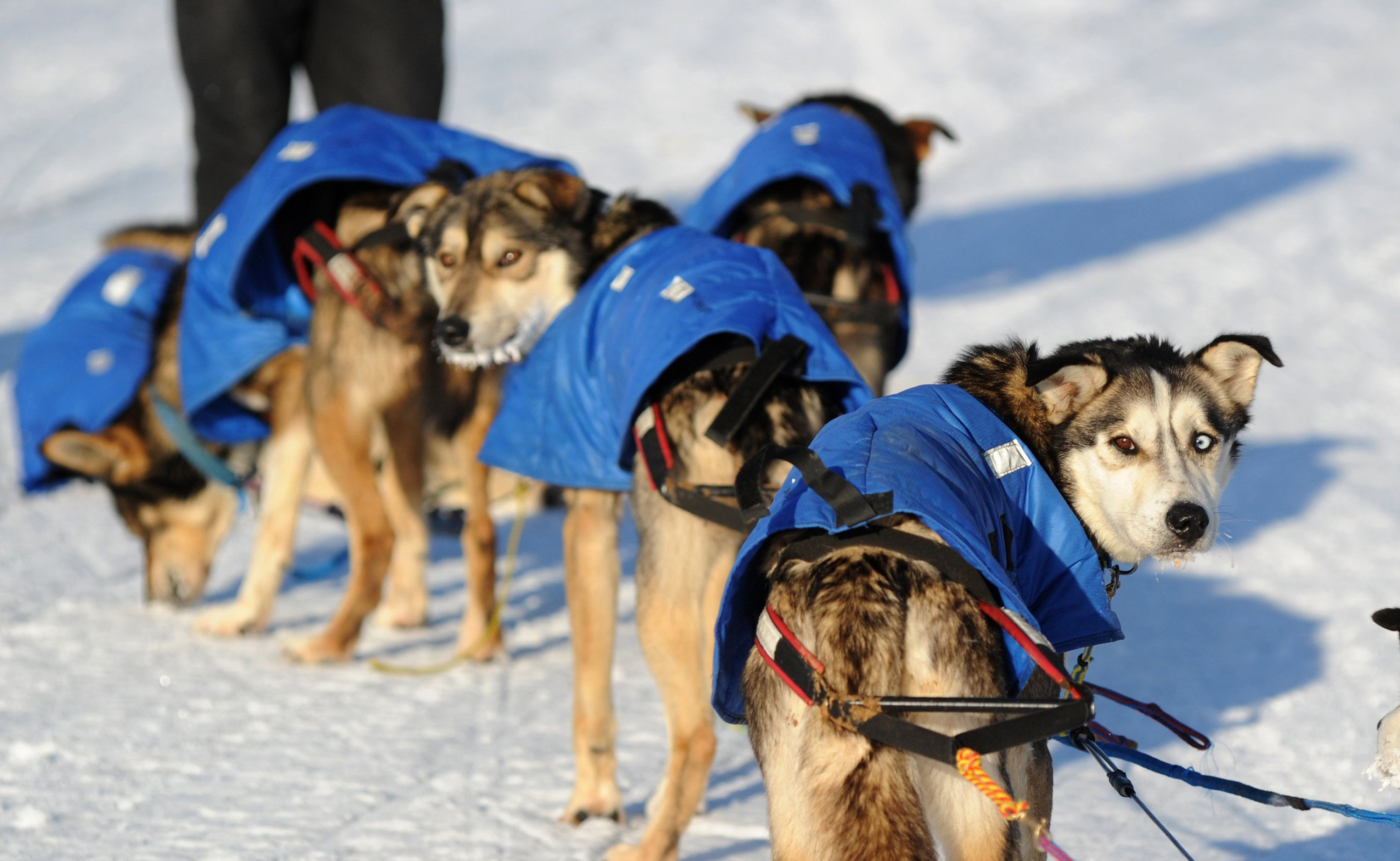 Mitch Seaveys dogs look back at the musher after they arrived at the White Mountain, Alaska, checkpoint during the Iditarod Trail Sled Dog Race on Monday, March 10, 2014.