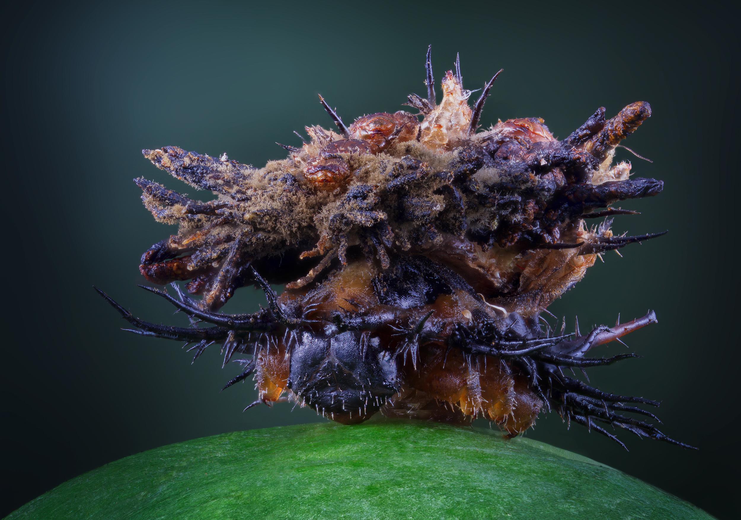 Larvae of a tortoise beetle