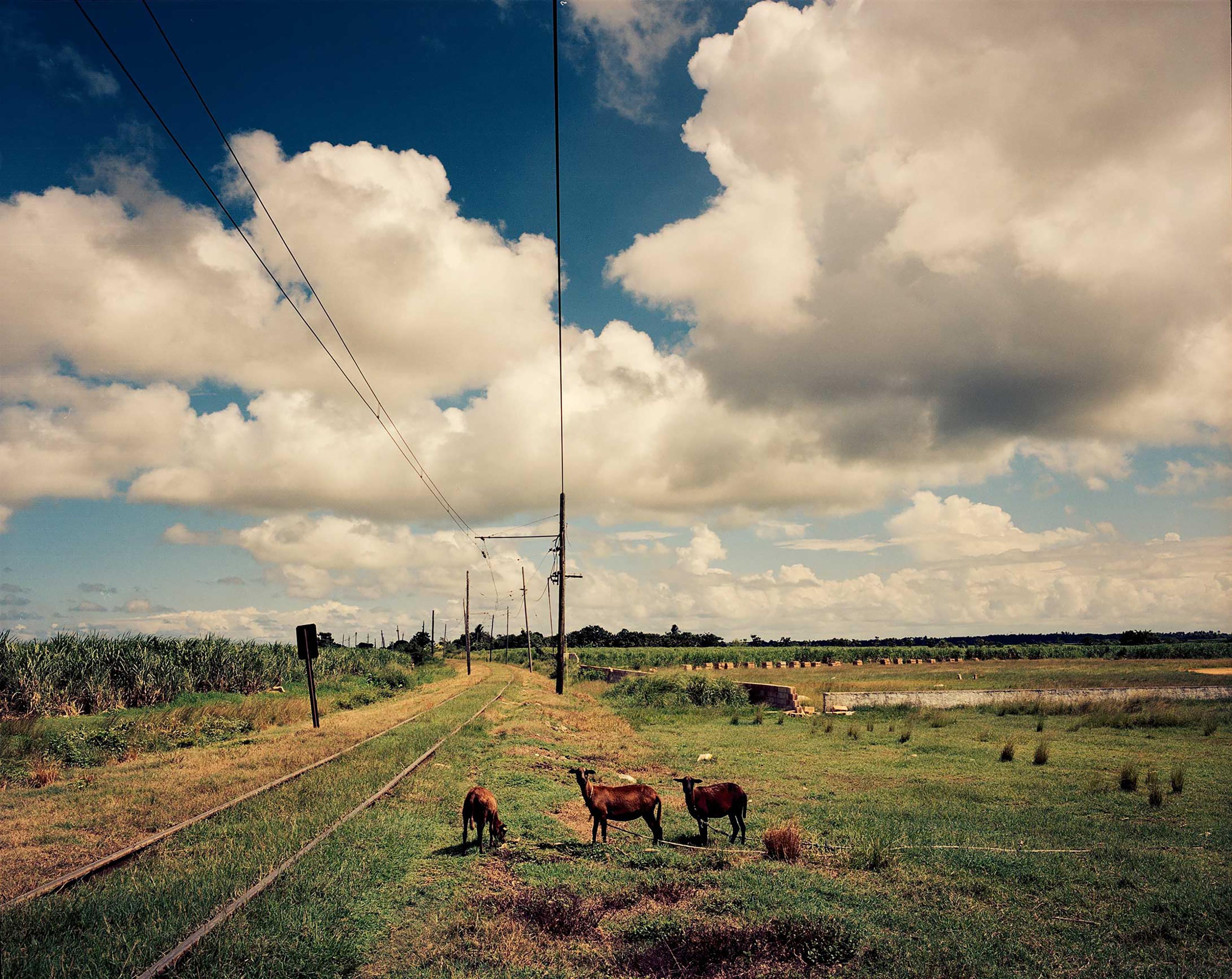 Lambs grazing near the Hershey electric train railway in Cuba.