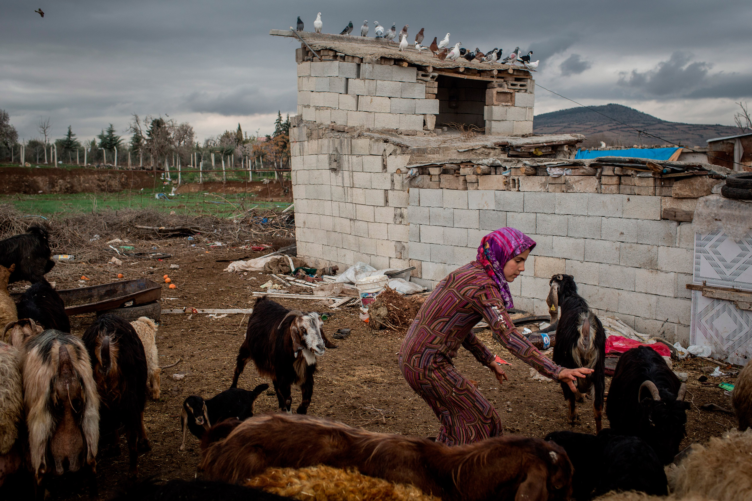 Yasmin, a Syrian refugee, tries to catch a goat during her work at a farm in Kilis, Turkey, March 3, 2016.