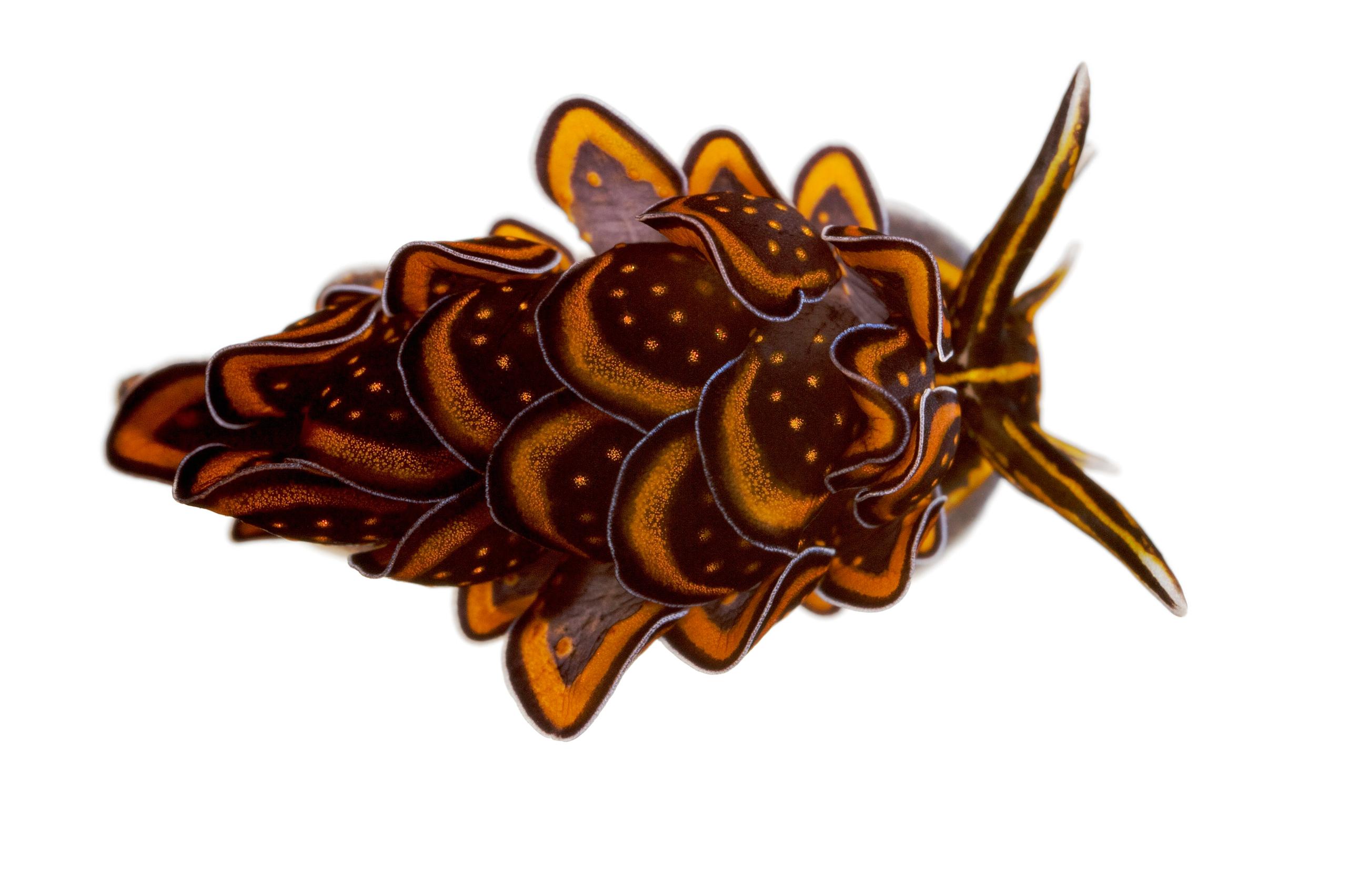Sacoglossan sea slug, Cyerce nigricans, found at Lighthouse Reef, Moorea, French Polynesia.