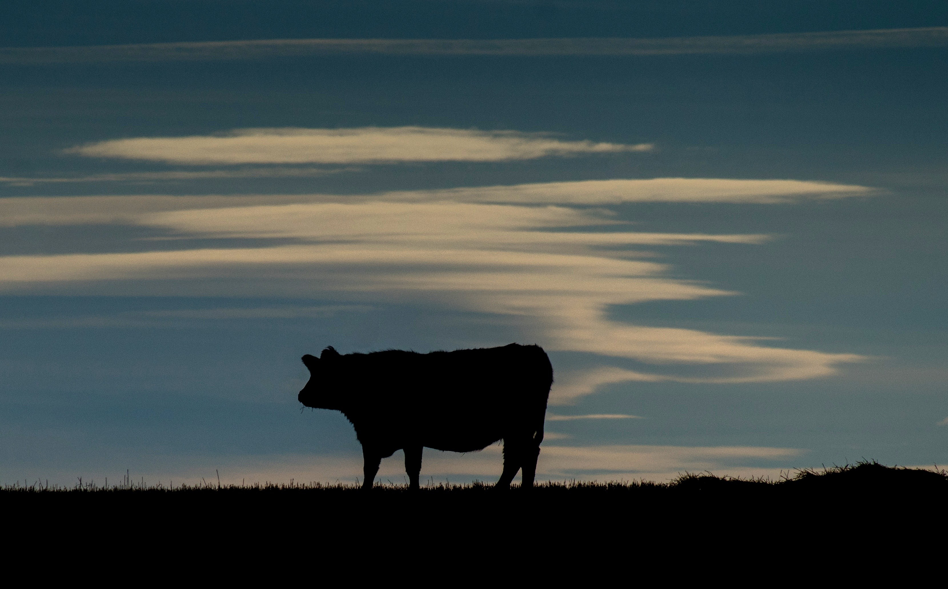 A cow is silhouetted on a pasture near the Trans-Canada Highway north of Calgary on Feb. 13, 2015.