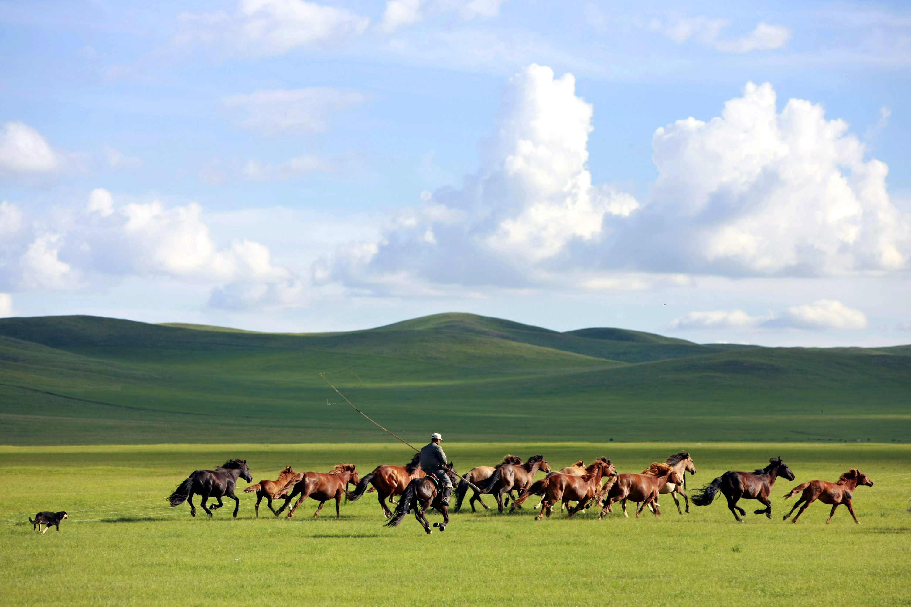 A man whips a herd of horses in Xilin Gol League, in China's Inner Mongolia Autonomous Region, July 13, 2013.