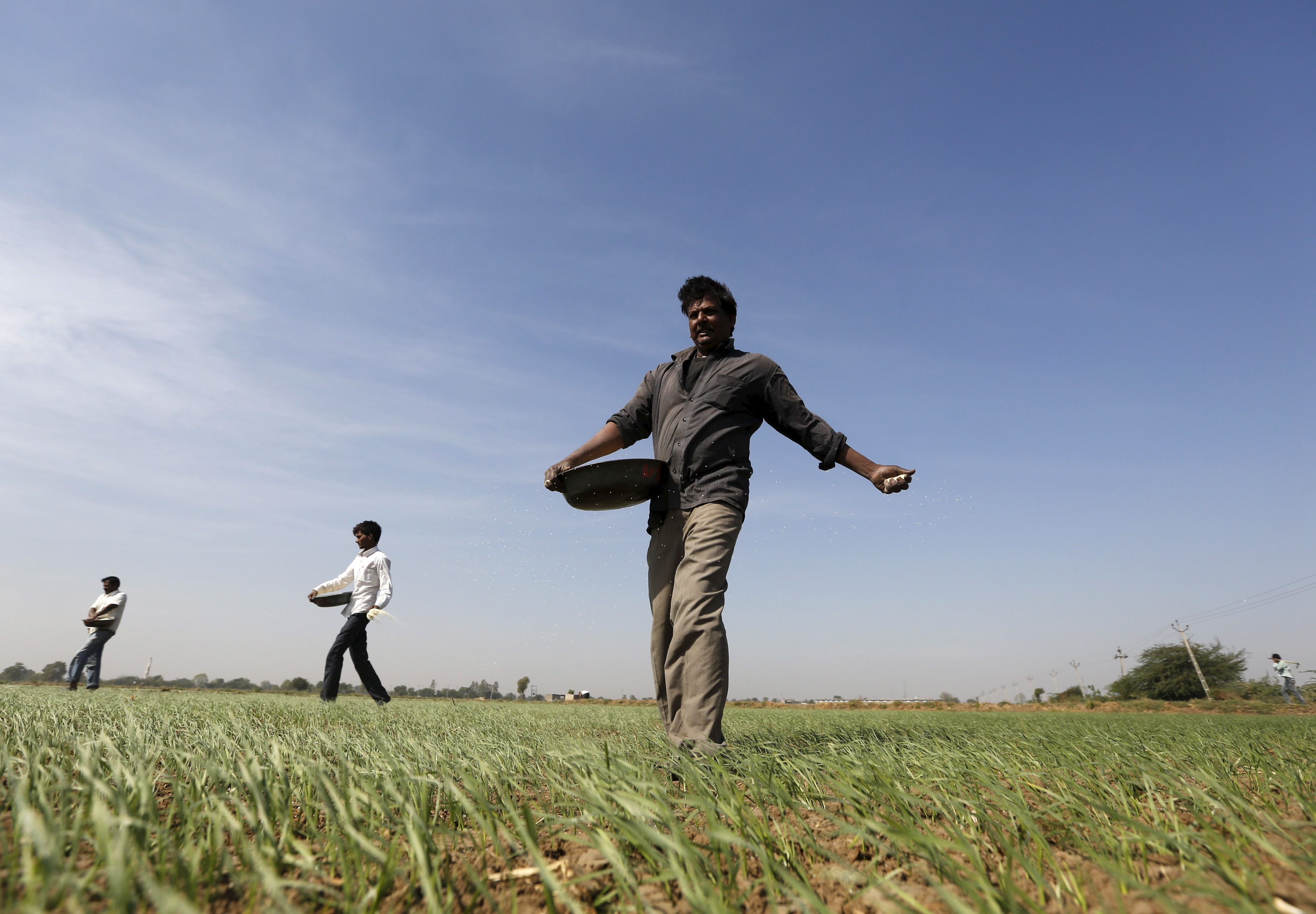 Farmers sprinkle fertilizer on a wheat field on the outskirts of Ahmedabad, India, on Dec. 15, 2015