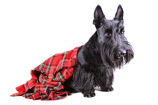 Scottish terrier in a kilt