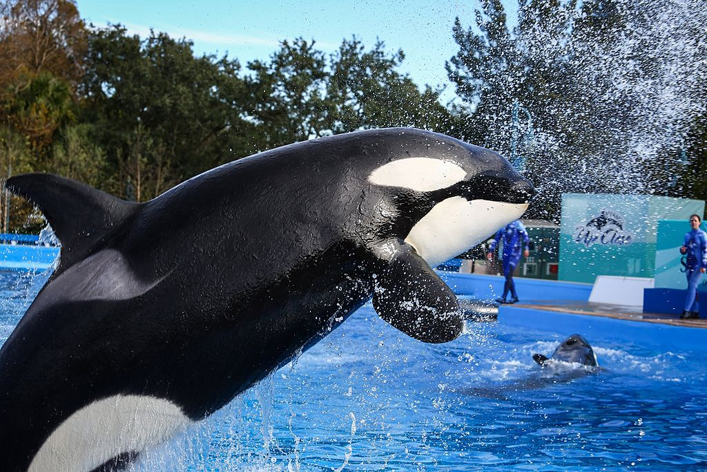 Trainers work with orcas during a show at the Shamu Up Close attraction at SeaWorld in Orlando on Jan. 7, 2014.