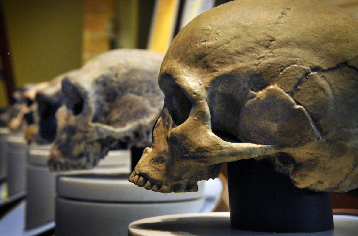 The Hall of Human Origins at the Smithsonian Museum of Natural History, seen on March 15, 2010 in Washington, DC.  Pictured, a row of skulls ending with homo sapiens, foreground.